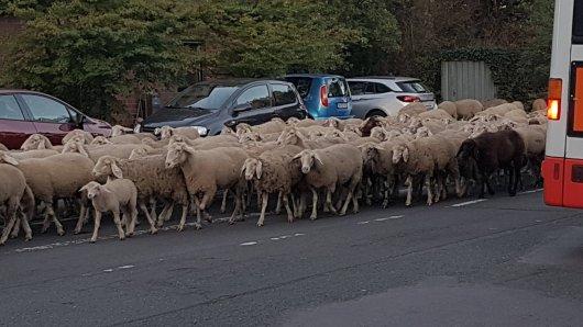 Eine Schafsherde unterwegs durch Oberhausen.