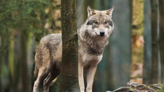 Eine neue Sonderausstellung im Harzmuseum Wernigerode beschäftigt sich mit dem Wolf.