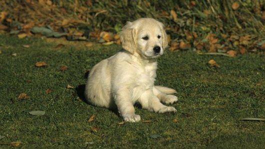 Welpe Maverick hilft dem blinden Hund Charlie im Alltag. (Symbolfoto)