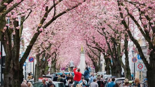 Auf der Heerstraße in Bonn blühen die Kirschblüten. Die Zeit der Kirschblüte lockt alljährlich zahlreiche Zuschauer an.