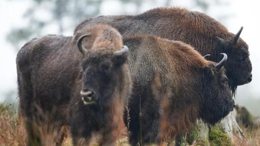 Mächtige Tiere: In der Wisent-Wildnis in Bad Berleburg sind die gleichnamigen Tiere in einem 20 Hektar großen Schaugehege zu sehen.