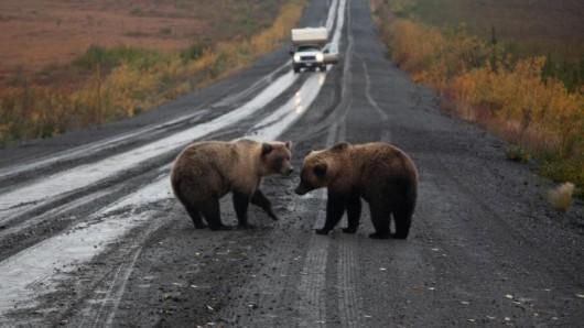 Entlang der Straße ist eine Begegnung mit Grizzlybären nicht ungewöhnlich.