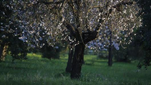 Auf Mallorca hat die Mandelblüte 2020 in vielen Regionen deutlich früher begonnen als gewöhnlich.