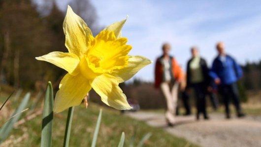 Die Gelbe Narzisse ist das Aushängeschild des Nationalparks Eifel - die auch Osterglocke genannte Blume wächst hier in mehreren Tälern wild auf den Wiesen.