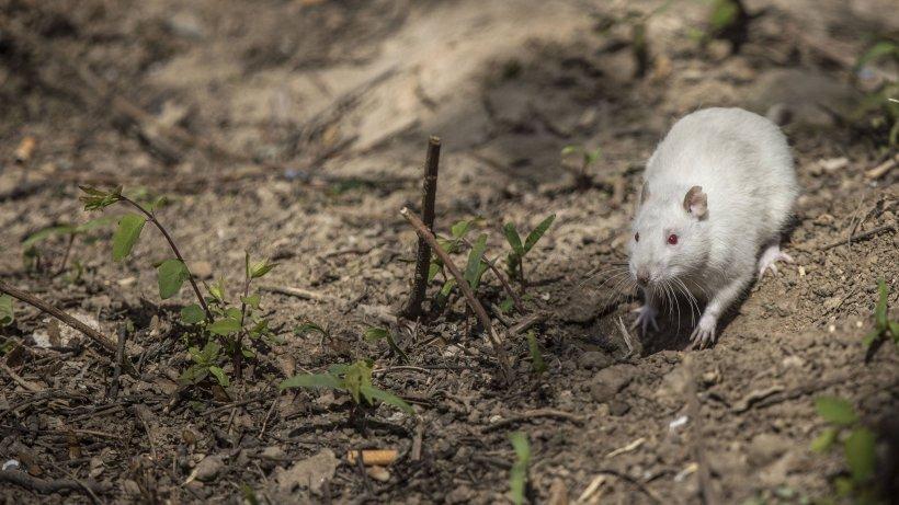 Rattenplage Wuppertal