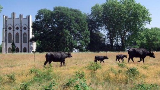 Wasserbüffel auf der Pfaueninsel - das Eiland liegt im Südwesten Berlins in der Havel.