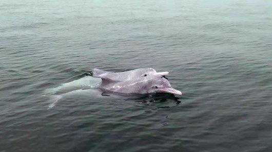 Zwei Chinesische Weiße Delfine (Sousa chinensis) in der Sanniangwan Scenic Area. Weil der Schiffsverkehr in den Gewässern um Hongkong stark abgenommen hat, werden die Meeresbewohner hier wieder häufiger gesichtet.