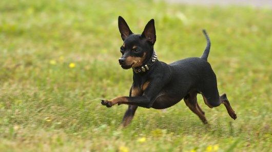 Hund: Der Mann schlug dem kleinen Vierbeiner auf den Kopf, dann hatte er eine grausame Ausrede. (Symbolbild)