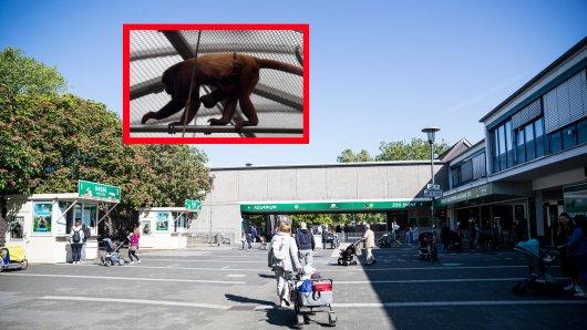 """Köln: Der Affe """"Chico"""" sollte eigentlich schon längst sterben, doch sein Tierpfleger ließ sich etwas Unglaubliches einfallen. (Symbolbild)"""