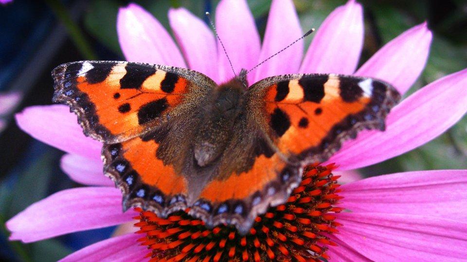 Manche Blumen Ziehen Schmetterlinge Besonders An Wohnen Derwestende