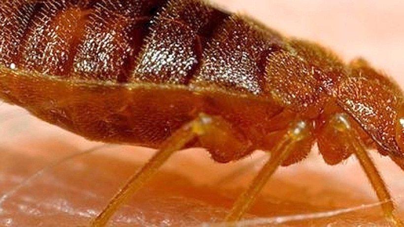 insekten so sch tzen sie sich vor bettwanzen gesundheit. Black Bedroom Furniture Sets. Home Design Ideas