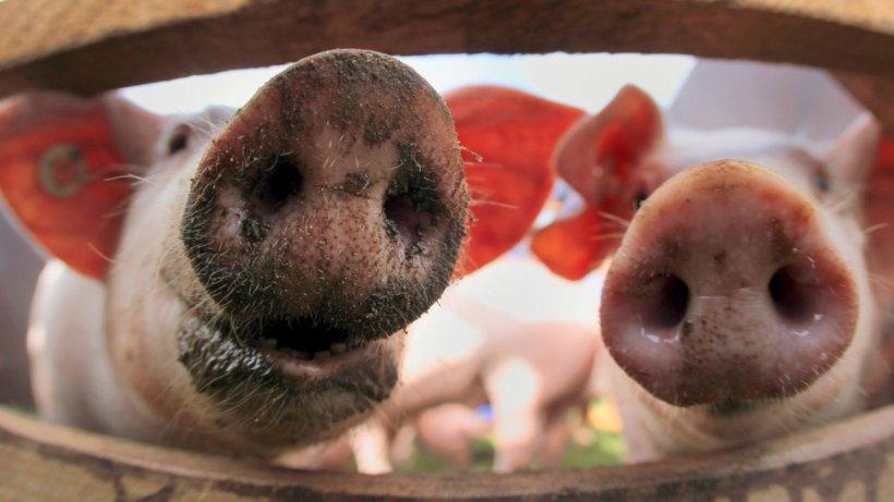 Schweine Virus