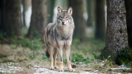 Bei korrektem Verhalten sind Menschen für den Wolf uninteressant – ganz anders sieht es da bei Nutztieren aus. (Symbolfoto)
