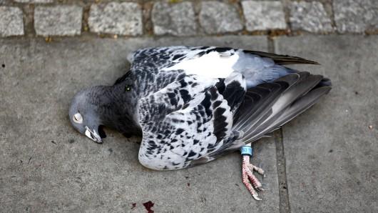 In Oberhausen wurde eine Taube brutal ermordet. (Symbol)