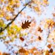 ARCHIV - Ein Blatt segelt am 26.10.2015 in einem herbstlichen Wald bei Lampertheim (Hessen) vor dem blauen Mittagshimmel zu Boden. Blätter sammeln und pressen - das macht im Herbst richtig viel Spaß. Foto: Frank Rumpenhorst/dpa +++(c) dpa - Nachrichten für Kinder+++