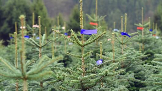 """Nordmanntannen, die als Weihnachtsbäume verkauft werden sollen, stehen am 15.11.2017 in Schmallenberg (Nordrhein-Westfalen) nebeneinander auf einem Hang.    (zu dpa """"Klein und ebenmäßig soll er sein: der Weihnachtsbaum 2017"""" vom 18.11.2017) Foto: Caroline Seidel/dpa +++(c) dpa - Bildfunk+++"""