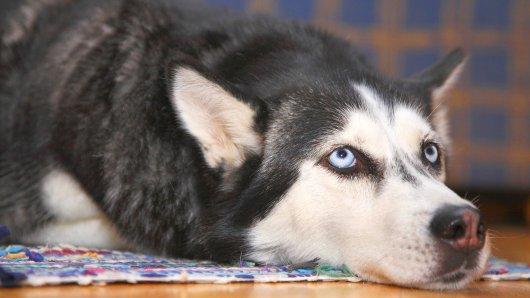 Huskys bezaubern viele Menschen wegen ihrer blauen Augen.