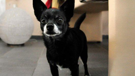Kaum zu glauben: Doch einem Chihuahua-Mix ist es gelungen sein Frauchen vor einem Schwarzbären zu retten.