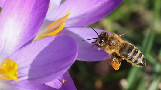 Die Wallace Riesenbiene ist gut vier Mal so groß wie unsere heimischen Honigbienen. (Symbolfoto)