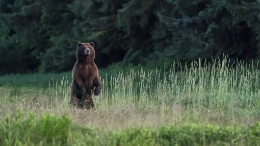 Richtet ein Bär sich auf, ist das keine Drohgebärde. Er will sich lediglich einen besseren Überblick verschaffen.