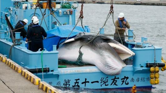 Der erste erlegte Wal nach Wiedereinführung des kommerziellen Walfangs in Japan.