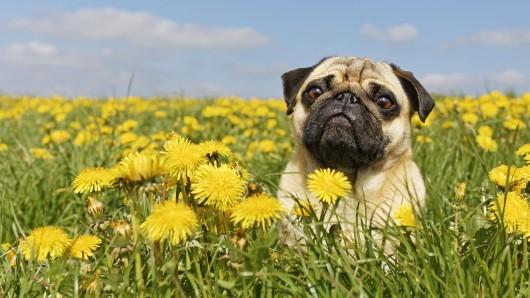 Ein beliebtes Spiel bei Hund und Herrchen ist für die Vierbeiner ziemlich gefährlich. (Symbolfoto)