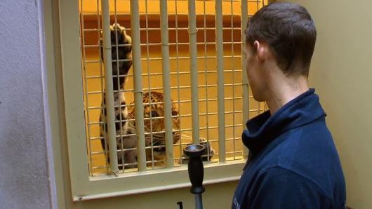 """Im Tierpark """"Hellabrunn"""" München steht eine gefährliche Aktion um Leopard Julius an."""