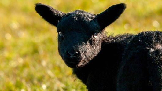Ein Lamm wurde im Zoo Münster von seiner Mama verstoßen.