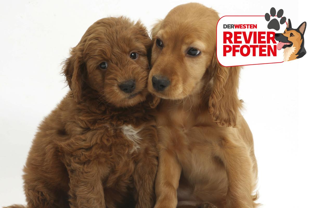Hundeallergie Und Trotzdem Ein Hund Beste Rassen Fur Allergiker Derwesten De