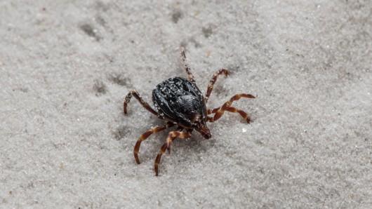 Gut zu erkennen: Die gestreiften Beine der Hyalomma-Zecke. Sie können das für Menschen tödliche Krim-Kongo-Virus in sich tragen.