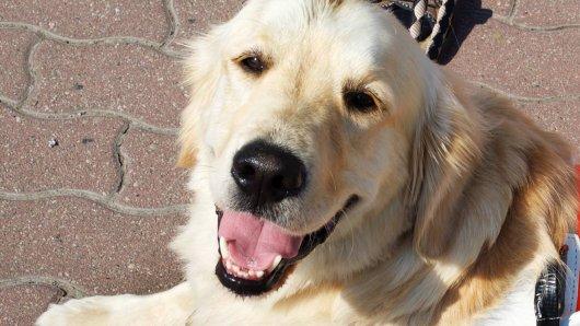 In Düsseldorf wurde ein Blindenführhund gestohlen. (Symbolfoto)