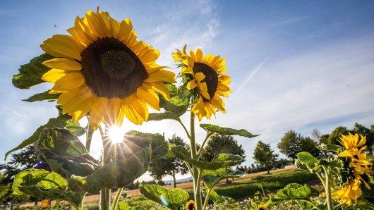 Die Hitze kommt zurück nach NRW: In der kommenden Woche werden Spitzentemperaturen bis 36 Grad erwartet.