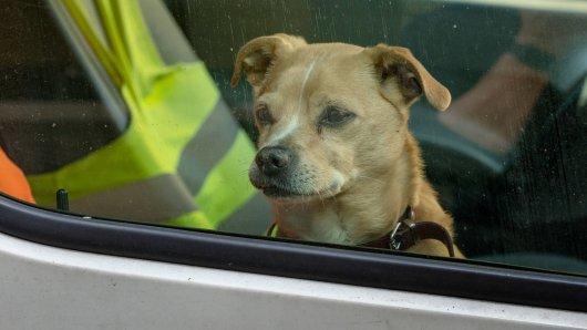 Der Hund ist alleine in dem schwarzen Auto zurückgelassen worden. Als die Polizei ihn befreit, entwickelt sich ein wahres Drama. (Symbolbild)