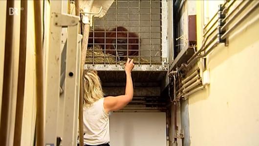 Pflegerin Bärbel will eigentlich Baby-Affe Ito versorgen – doch seine Mama kommt dazwischen.