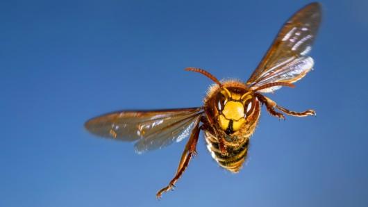 In Lüdenscheid (NRW) sind Wespen auf Schüler losgegangen. Der Fall gibt Rätsel auf. (Symbolfoto)