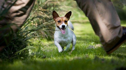 In Düsseldorf griffen ein Jack Russel Terrier und sein Hundehalter einen Stadt-Mitarbeiter an. (Symbolfoto)