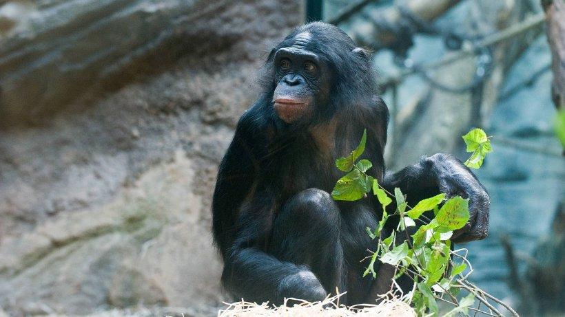 Zoo-Wuppertal-Trauer-um-Affen-Birogu-Tier-konnte-nicht-am-Leben-gehalten-werden