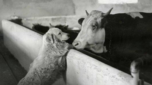 Ein trauriger Maremmano-Mischlingsrüde wartet in einem Tierheim in NRW auf die Erfüllung seines größten Wunsches. (Symbolbild)