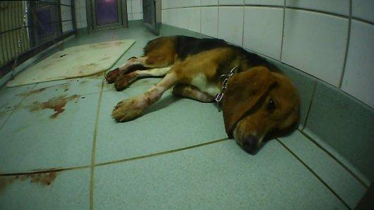 Schreckliche Bilder eines sterbenden Beagle: Diesen blutenden Hund hat der Ermittler in seinem Käfig aufgefunden.