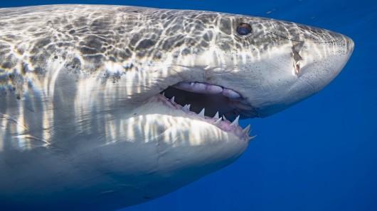 Hai-Angriff in Australien – zum wiederholten Mal. (Symbolfoto)