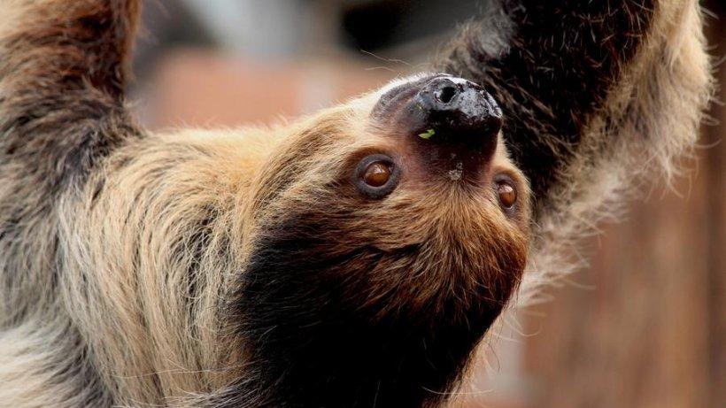 So süß ist der Faultier-Star im Dortmunder Zoo - derwesten.de